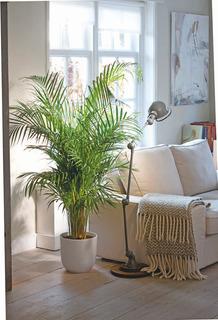 Palmera Areca Planta Interior Deco Living Hall Edif Oficina