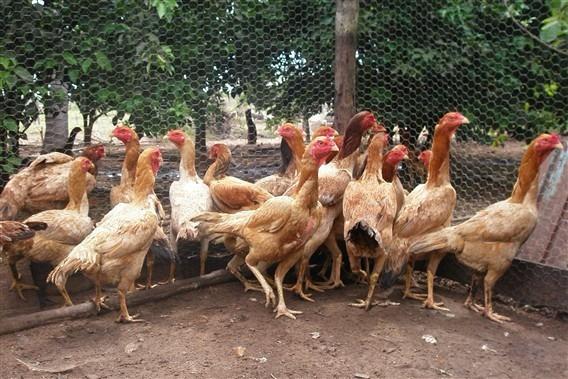 Ovos De Galinhas Gigantes Osasco Sorocaba Maiores Reprodutor