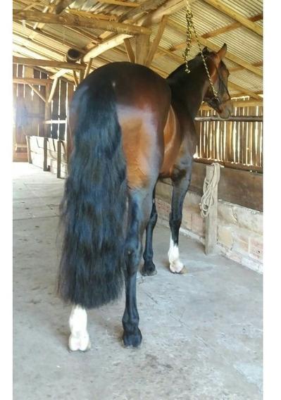 Cobertura Cavalo Crioulo Filho Bt Lamborguine