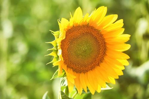 20 Sementes Selecionadas De Girassol Sem Agrotóxicos
