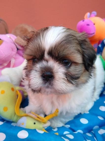 Shih Tzu Shitzu Shihtzu Cachorros Mini Miralos