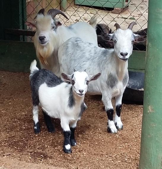 Mini Cabra - Excelente Linhagem - Filhotes