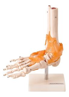 Articulação Do Pé C/ Ligamentos Tamanho Natural - Anatomico