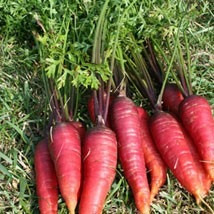 10 Semillas De Zanahoria Roja Mercado Libre Aprende a preparar alubias rojas con zanahoria con esta rica y fácil receta. 10 semillas de zanahoria roja