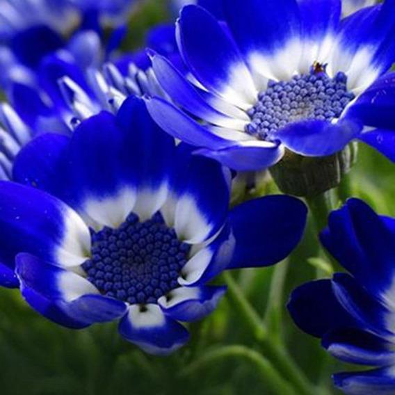 50 Sementes Flor Margarida Azul Rara