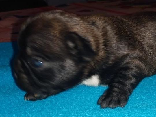 Bulldog Francés. Machito Negrito. Divino!
