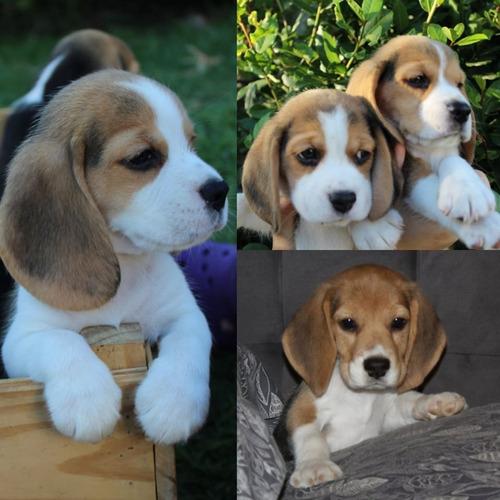 Cachorros Beagles   Tricolor Con  Fca