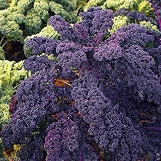 50 Semillas De Kale Scarlet (col Rizada Violeta)