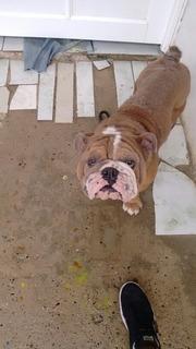 Perro Bulldog Ingles Original Con Toda Sus Vacuna Tiene Dos