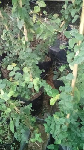 Imagen 1 de 2 de Planta De Enamorada Del Muro Enredadera Tapizante Se Adhiere