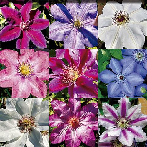 48 Semillas De Flor Clemátide (13)