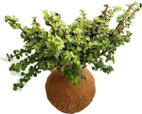 Planta De Jade Chino En Kokedama