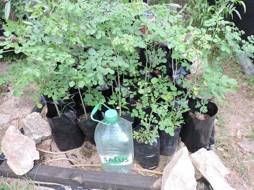 Moringa Oleifera Plantas Buen Tamaño