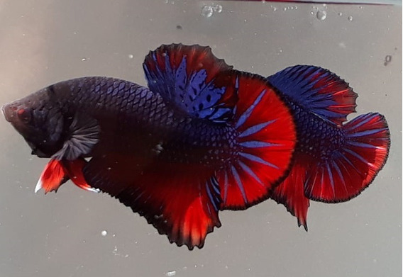 Betta De Linhagem Dark Red