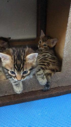 Imagem 1 de 5 de Filhotes De Bengal O Gato De Bengala