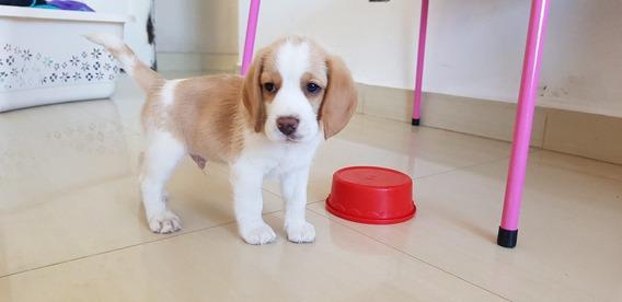 Beagle Super Lindos Bicolor. Entrea Este Mes