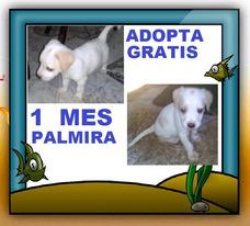 Regalo Cachorro, 1 Mes, Blanco, Labrador-pekines, Adopcion