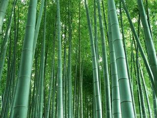 Bambu Gigante Semillas