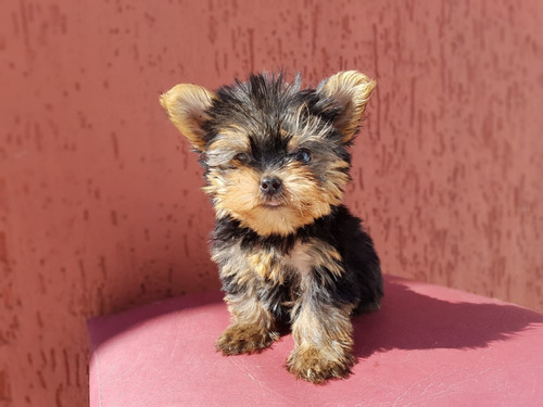 Filhotes Mini De Yorkshire Terrier Macho Com Pedigree!
