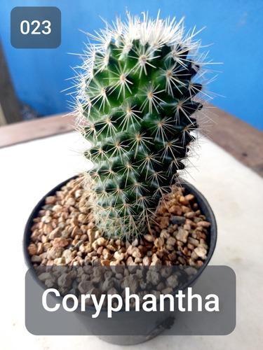 Imagem 1 de 8 de Mudas Cactos Cactus Com Vaso P.11 Coryphantha