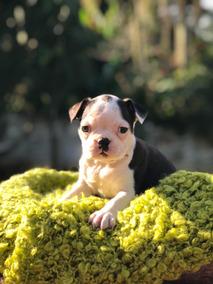Boston Terrier Femeas Lindos Kadosh Dogs Kennel