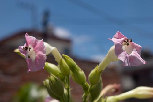 Imagen 1 de 5 de 300 Semillas De Tabaco Virginia