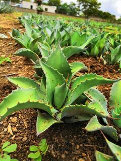 Planta De Agave Tobalá Hijuelo (maguey Para Mezcal)