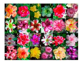 30 Sementes Rosa Do Deserto Mix De Cores - Frete Gratis