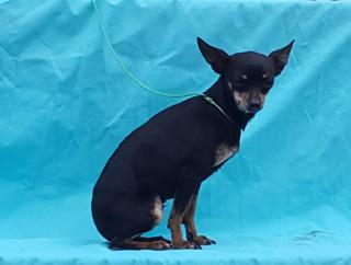 Chihuahua En Dias De Ponerse En Celo
