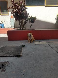 Hembra Bulldog Ingles 6 Meses