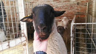 Borrego En Venta Semental F1 Padre Suffolk De Registro