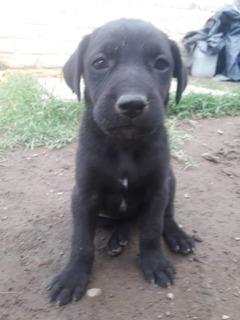 Regalo Cachorritos Cruza Weimaraner/labrador