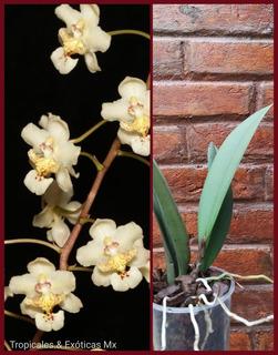 Orquídea Trichocentrum Stramineum (lophiaris Stramineum)