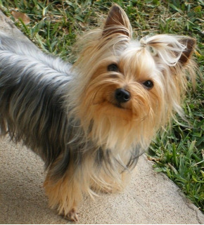 Para Monta Yorkshire Terrier Macho