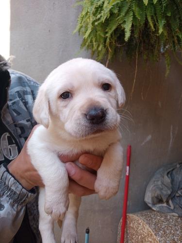 Labrador Retriver Filhote
