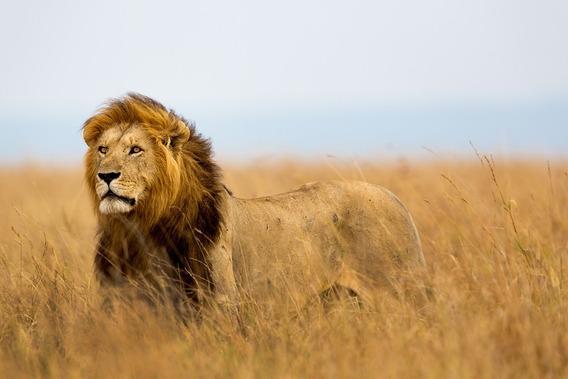 Fundo Fotográfico Tecido 3d Leão Na Savana 3,0m X 1,70m