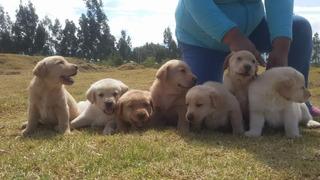 Vendo Exelente Ejemplar Cachorrito Labrador Retriveer Envío