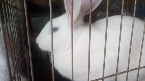 Conejos Línea Cárnica