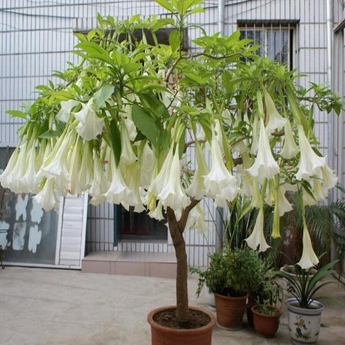 Trombeteiro Branca Sementes Brugmansia Suaveolens Flor | Mercado Livre