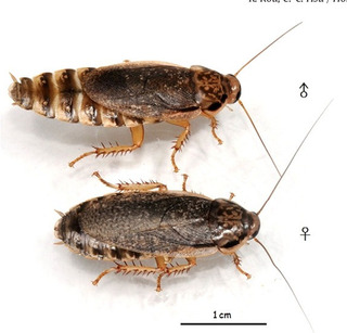 100 Cucarachas Lobster (nauphoeta C.) Alimento Vivo Mascota