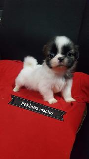 Pekines Cachorro Macho