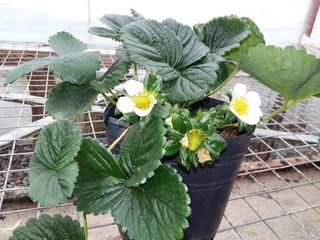 Plantines De Frutilla - Huerta Orgánica