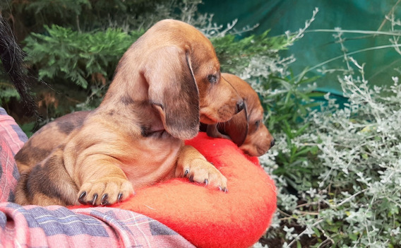 Cachorros Dachshund Salchicha Mini Divinos! (arlequines)