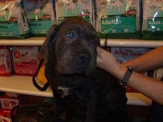 Mastín Cachorros Napolitanos En Adopción