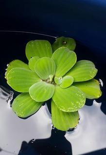 Plantas Acuáticas Flotantes