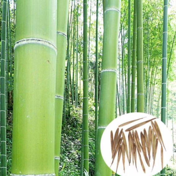 25 Semente Bambu Mosso Gigante Para Mudas Cultivo