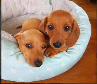 Dachshund Cachorros Salchicha Mini Exóticos