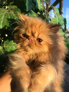 Lindo Gatito Persa Extremo Color Garfield