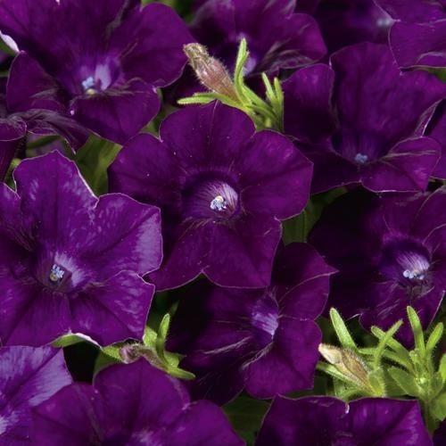 200 Semillas Flor Petunia Azul Violeta  + Obseq Germinación