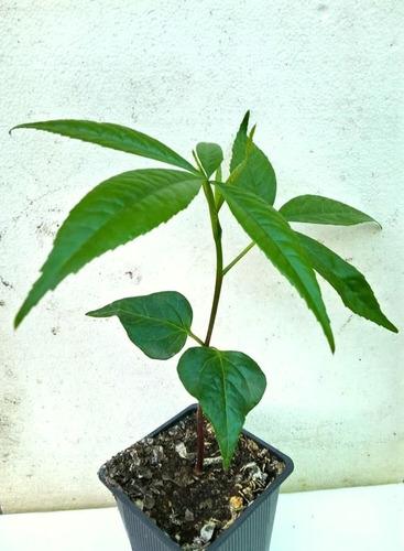 Arbol Chorisia Speciosa (palo Borracho)